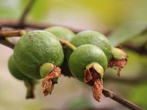 Guave bewaren
